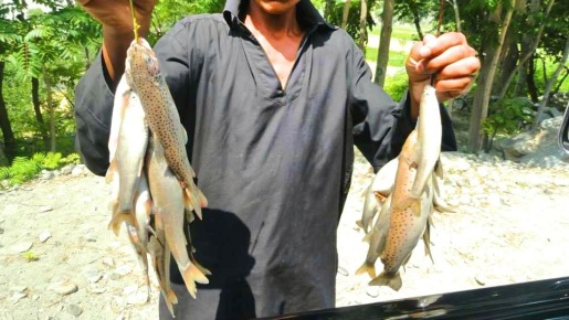 freshly caught Indus river fish
