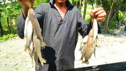 freshly caught Indus river fish